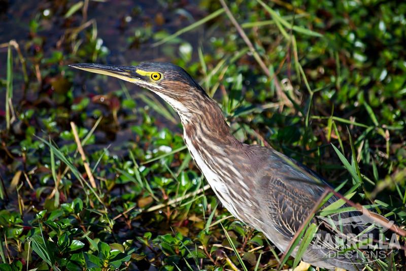 """Green Heron"" (Everglades National Park, Florida)"