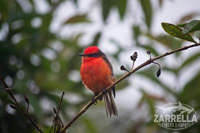 """Vermillion Flycatcher"" (Santa Cruz, Galapagos)"