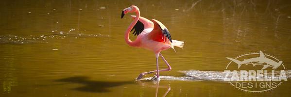 """""""Landing Flamingo"""" (Isabella, Galapagos)"""