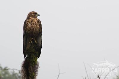 """""""Galapagos Hawk"""" (Isabella, Galapagos)"""