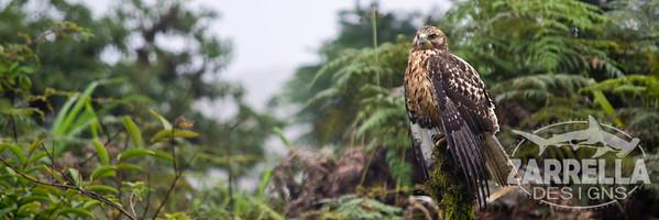 """""""Galapagos Hawk ready to take off"""" (Isabella, Galapagos)"""