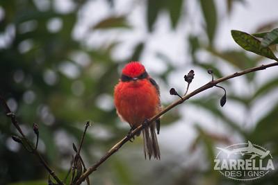 """Vermillian Flycatcher"" (Isabella, Galapagos)"