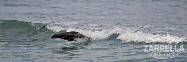 """""""Sea Lion Riding the Waves""""  (Isabella, Galapagos)"""